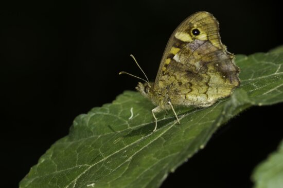 insect, butterfly, camouflage, nature, wildlife, animal, invertebrate