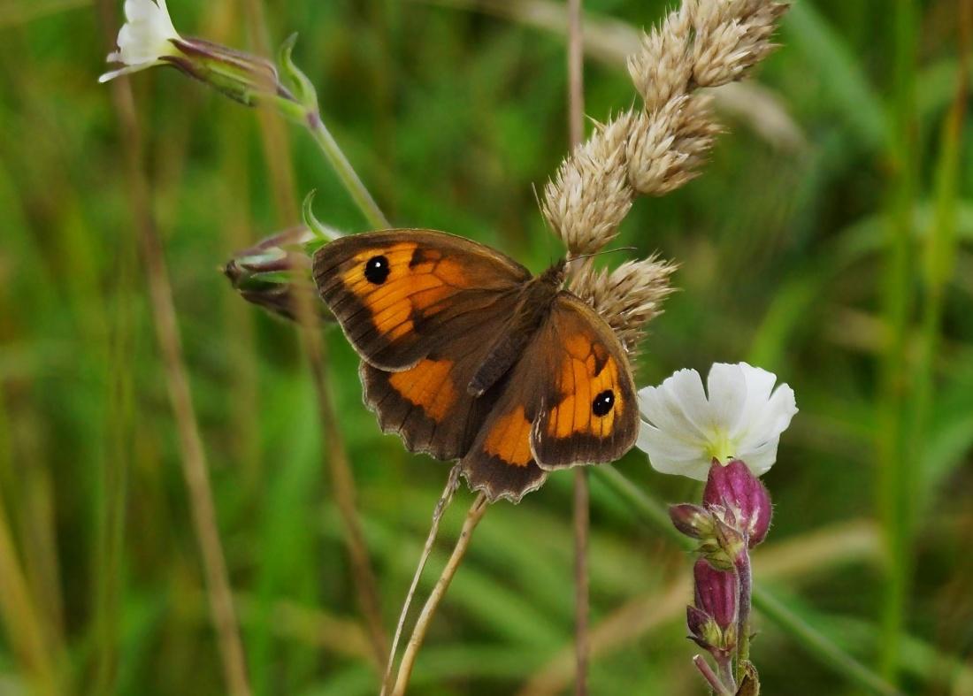 butterfly, nature, biology, insect, flower, wildlife, pistil, wildlife