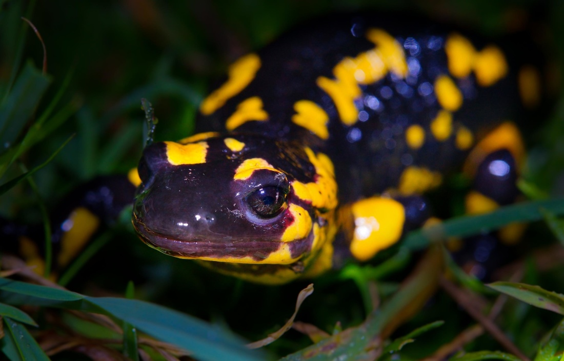 wildlife, amphibian, nature, frog, reptile, salamander