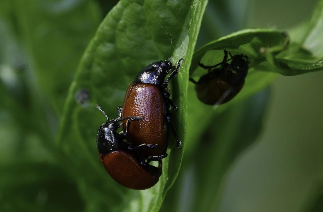 nature, beetle, insect, arthropod, invertebrate, metamorphose