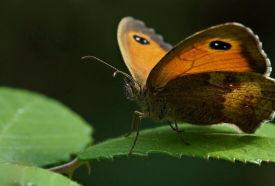 butterfly, insect, invertebrate, wildlife, nature, biology