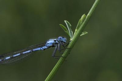 έντομο, dragonfly, ασπόνδυλα, φύση, άγρια ζωή, αρθρόποδα, ζώο, θερινή