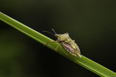böcek, yaban hayatı, omurgasız, doğa, yaprak, böceği, biyolojisi, zooloji, yaz, Eklem bacaklılar