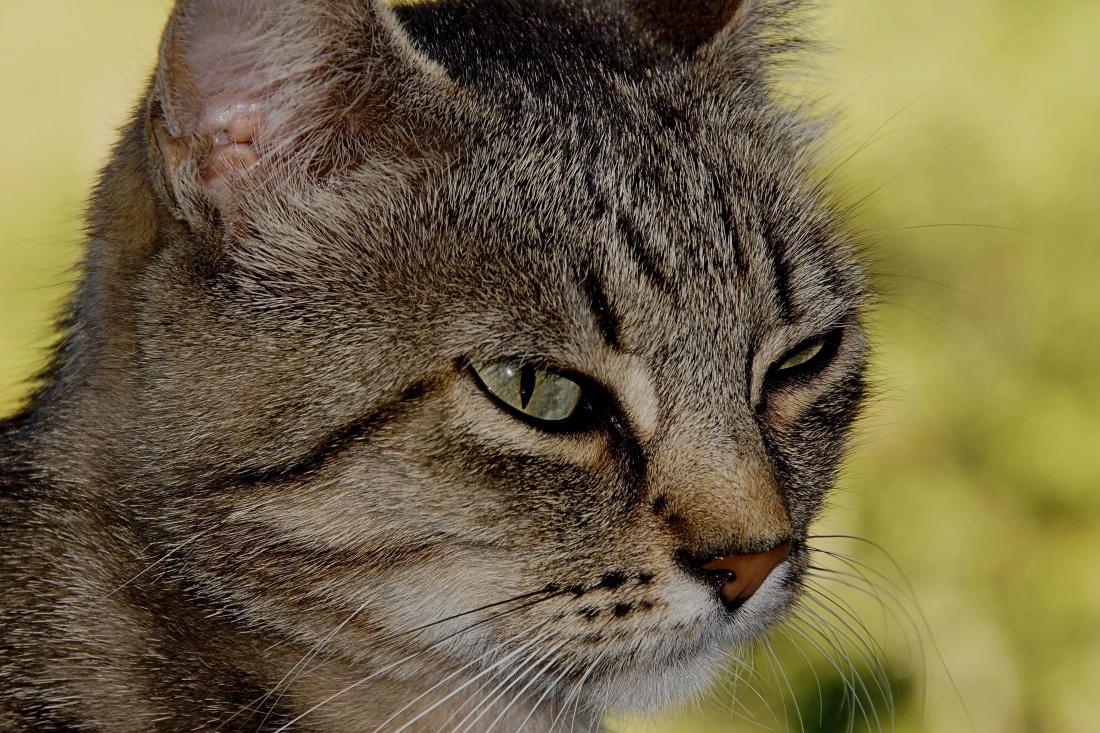 cat, animal, portrait, cute, pet, fur, eye, kitten, feline, whiskers