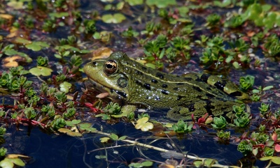 frog, amphibian, swamp, animal, marsh, leaf, reptile, environment, wild, nature