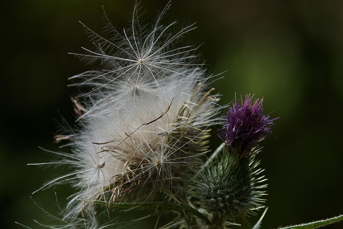 nature, flora, garden, grass, thistle, flower, seed, summer, leaf, plant