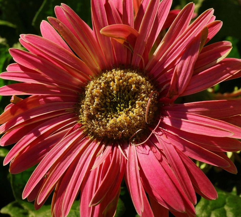 flower, flora, nature, gerbera, macro, pistil, summer, garden, petal
