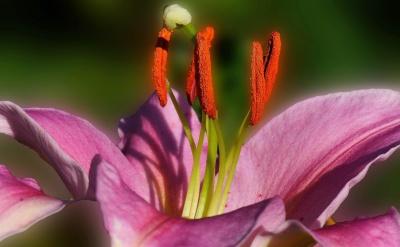 flor, naturaleza, flora, jardín, hoja, lirio, verano, Pétalo, planta
