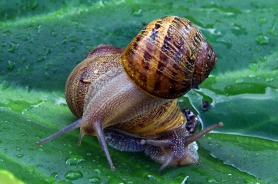 snail, gastropod, dew, shellfish, invertebrate, garden, nature