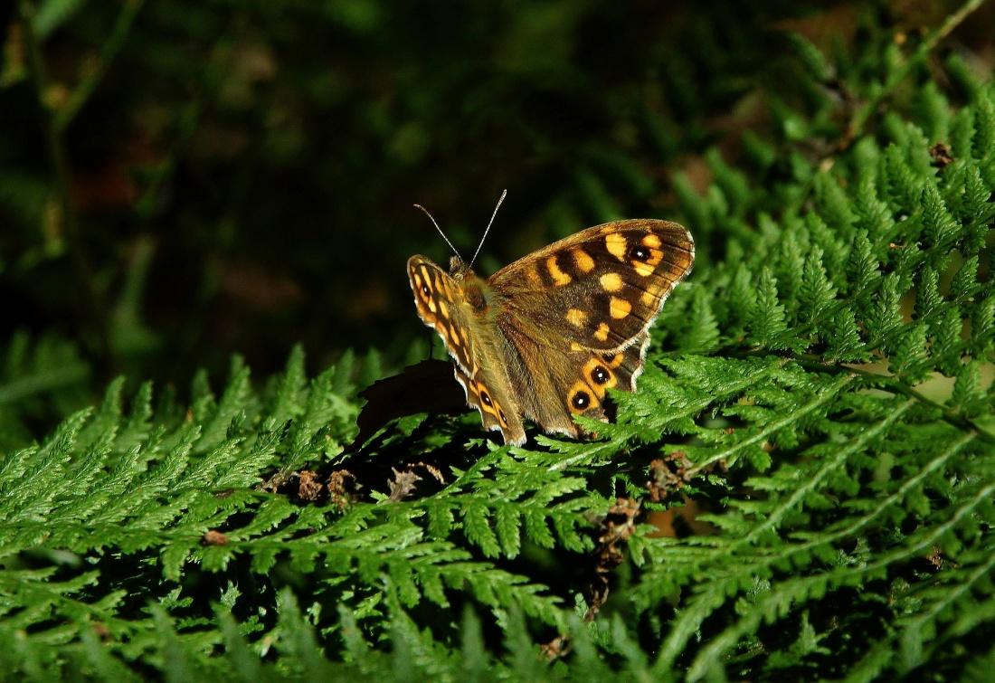butterfly, nature, insect, wildlife, wings, macro, animal, metamorphose