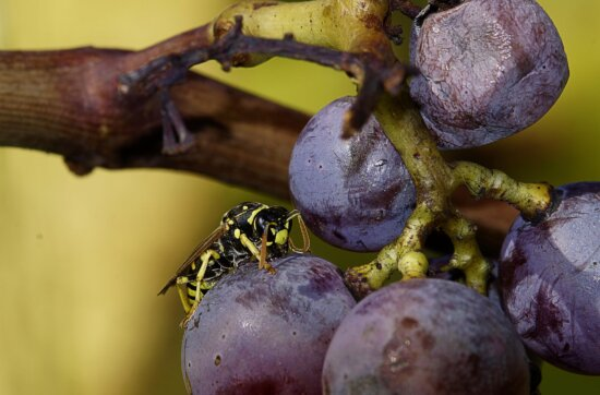 fruit, nourriture, nature, raisin, guêpe, viticulture, insecte, macro