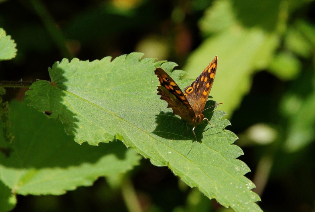 butterfly, insect, nature, invertebrate, wildlife, leaf, moth