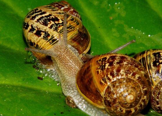 snail, gastropod, invertebrate, animal, nature, slug