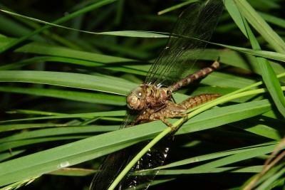 Natura, owad, dragonfly, liść, flora, ogród, stawonogów, bezkręgowców