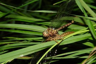 nature, insect, dragonfly, leaf, flora, garden, arthropod, invertebrate