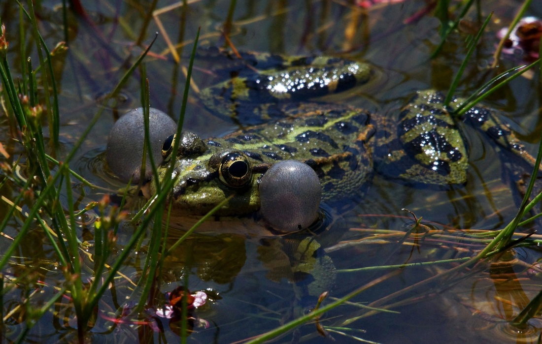 nature, water, swamp, frog, wildlife, amphibian, animal, reptile