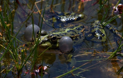 nature, water, swamp, frog, wildlife, amphibian, animal, reptile