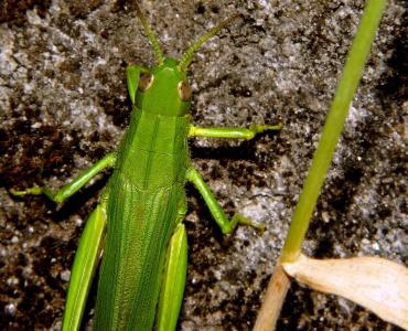 Natur, Heuschrecke, Blatt, Insekt, Natur, Wirbellosen, Gemüse