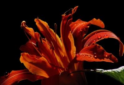 flower, macro, dew, rain, leaf, flora, lily, moisture, petal, pistil