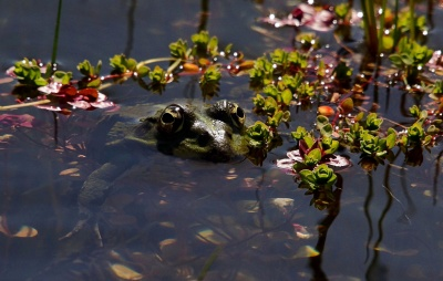 water, nature, frog, flower, leaf, lake, river