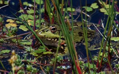 frog, amphibian, wetland, nature, wildlife, swamp