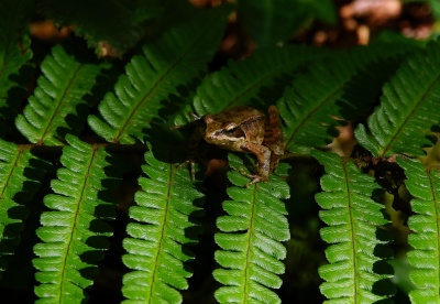 environment, frog, animal, wildlife, rainforest, leaf, fern, nature, plant