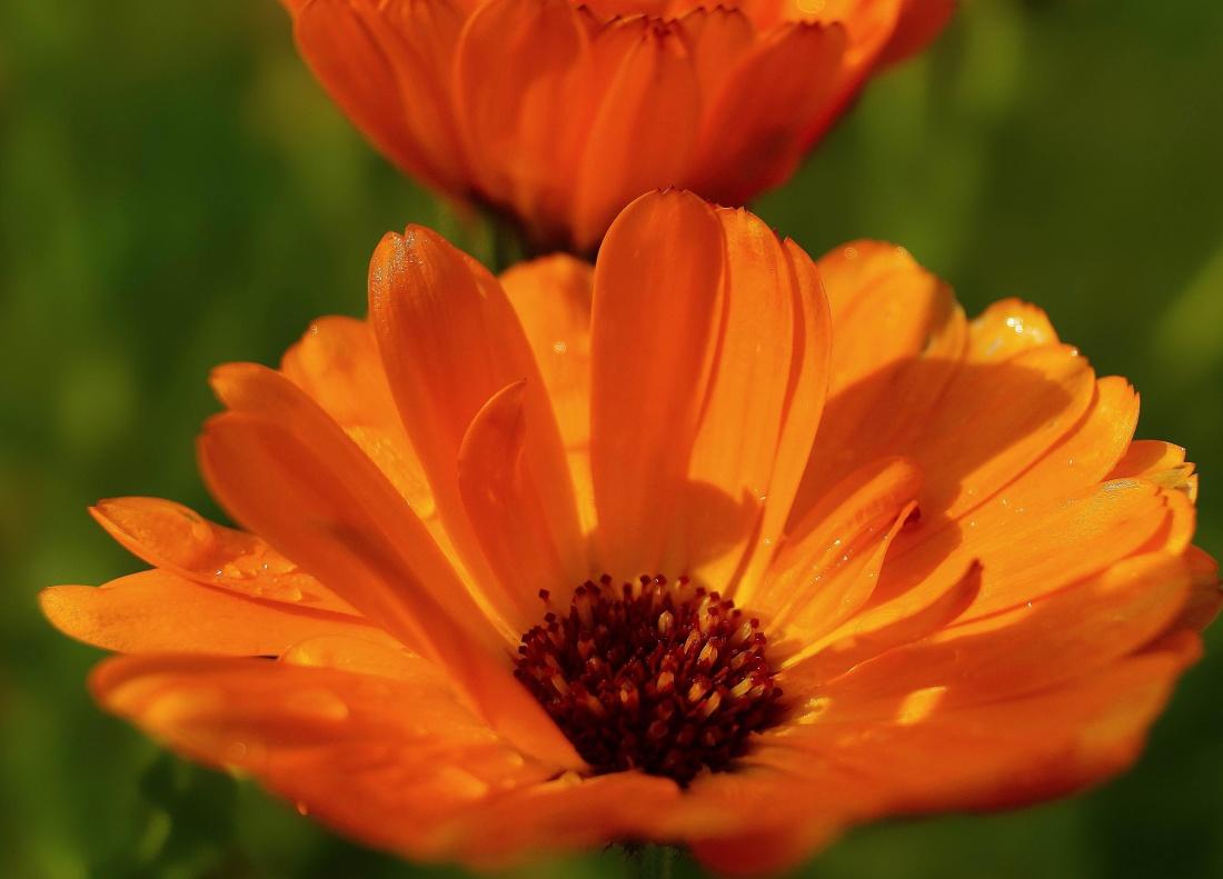 nature, flower, flora, summer, wildflower, macro, meadow, leaf