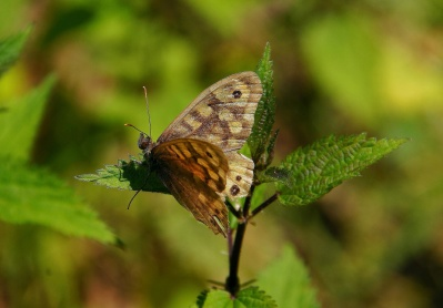 mimikri, kupu-kupu, alam, serangga, satwa liar, musim panas, hewan, invertebrata