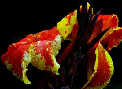 Blume, Pflanze, Blatt, Tau, nass, Makro, Garten, bunt, Blüte, Blüte