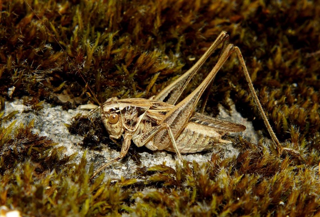 nature, invertebrate, wildlife, insect, camouflage, grasshopper, arthropod