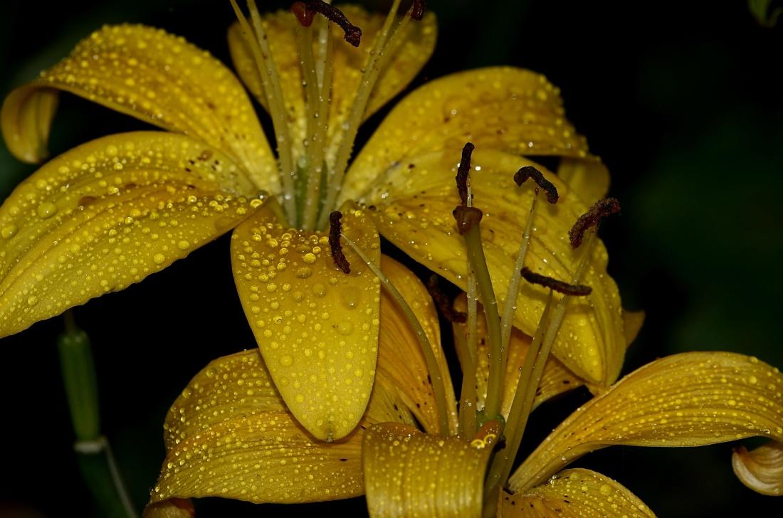 flower, garden, moisture, lily, dew, beautiful, summer, rain, nature