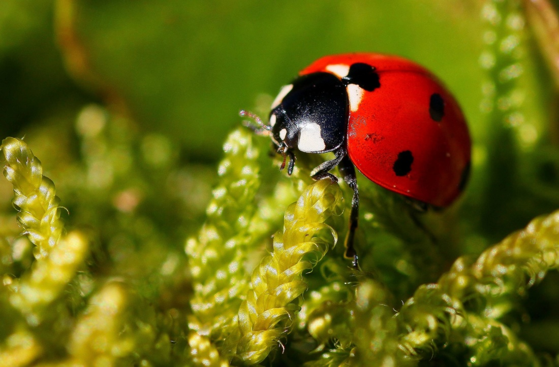 nature, beetle, insect, macro, ladybug, arthropod, invertebrate