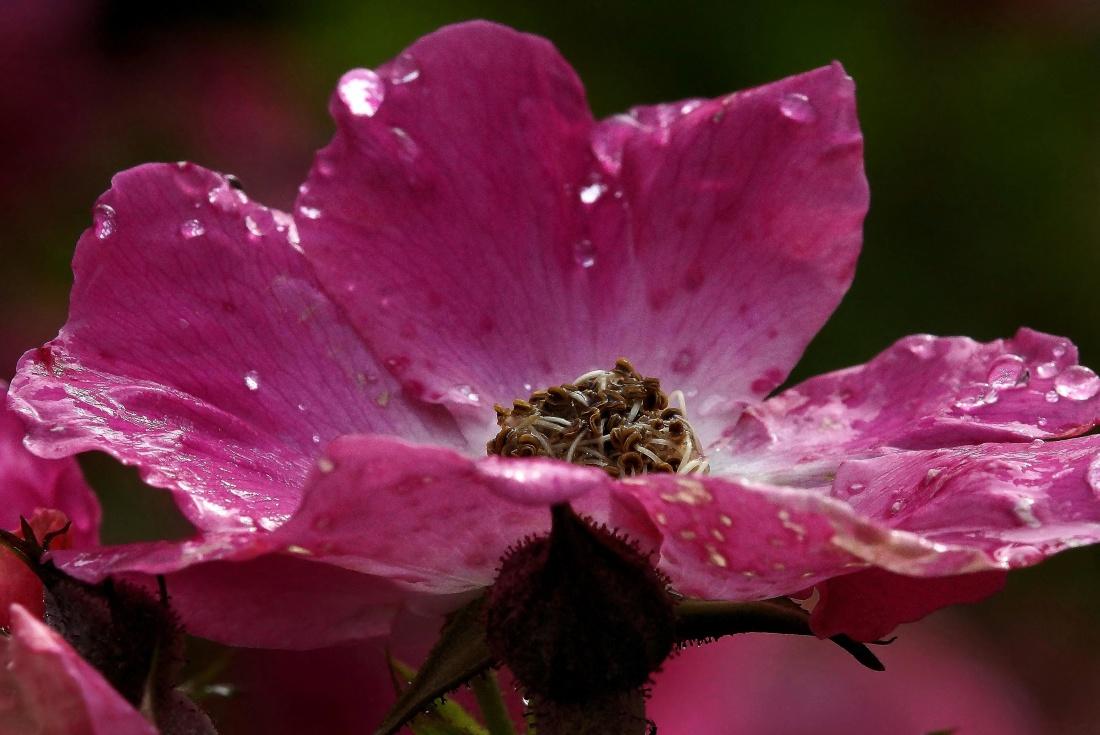 flower, nature, flora, leaf, garden, pink, petal, plant, blossom