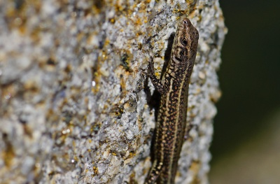 nature, invertebrate, wildlife, lizard, insect, reptile