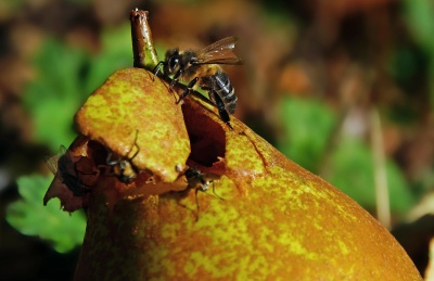 bee, pollen, fruit, nature, leaf, insect, food