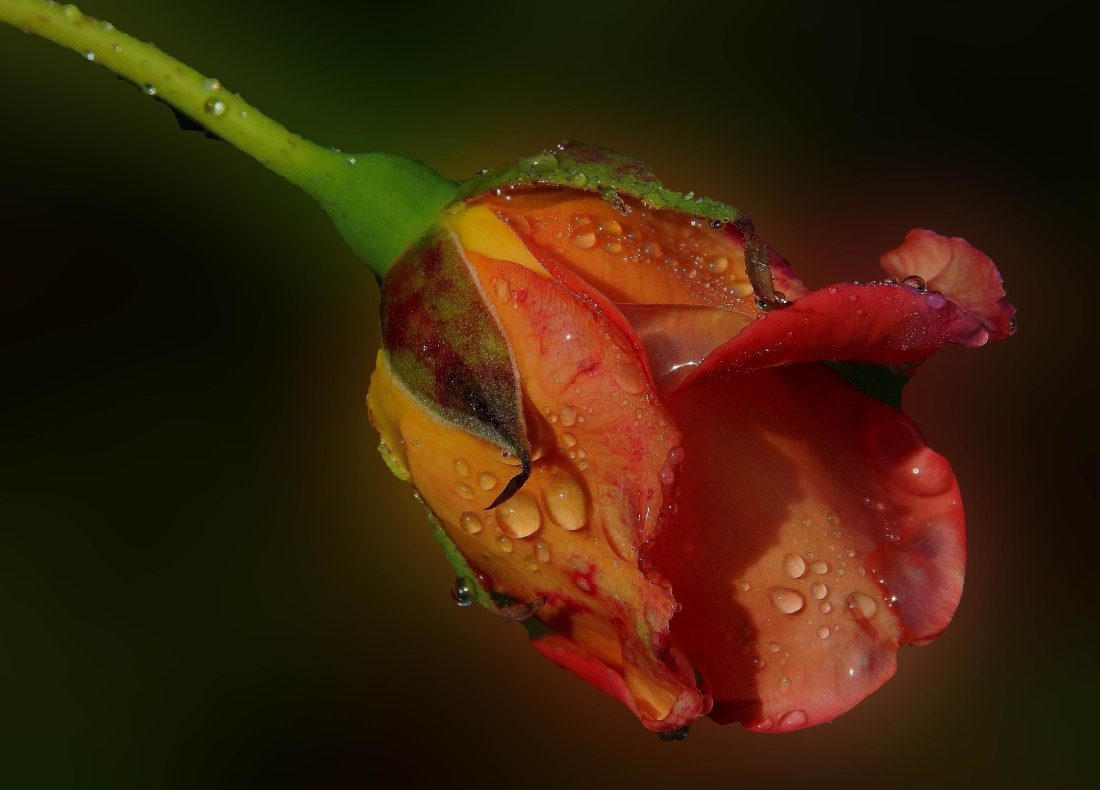 nature, flower, leaf, rain, dew, rose, wet, flora, water, garden