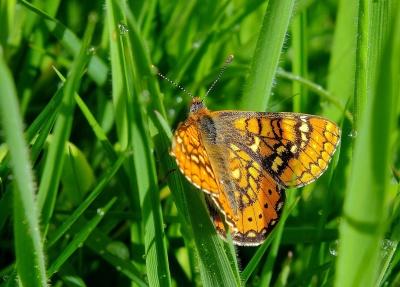 nature, papillon, insecte, été, jardin, flore, herbe