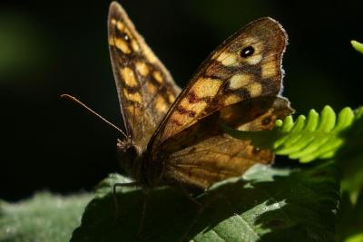 farfalla, insetto, natura, invertebrato, fauna selvatica, falena, animale