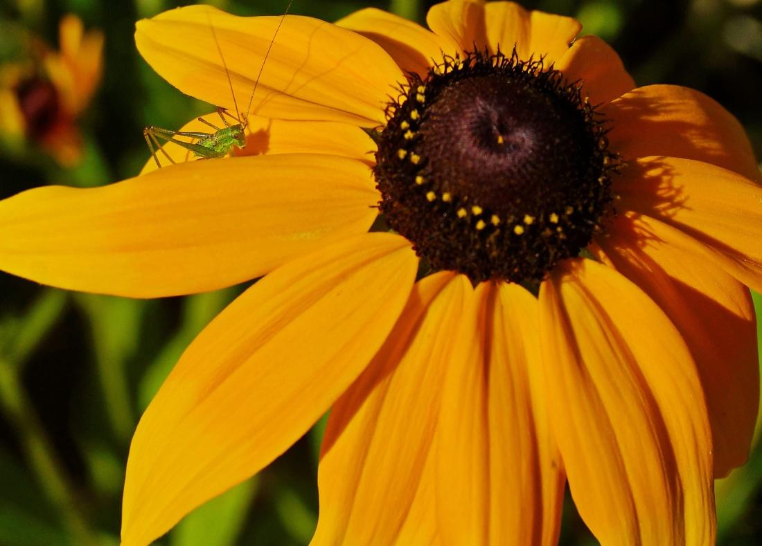 Príroda, kvet, leto, flora, hmyzu, makro, piestik, lupienok