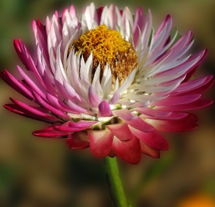 Blume, Natur, Flora, Garten, Sommer, Blütenblatt, Blatt, schöne