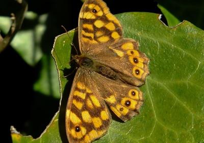 leptir, insekata, prirode, divlje životinje, životinja, moljac, krila, makro