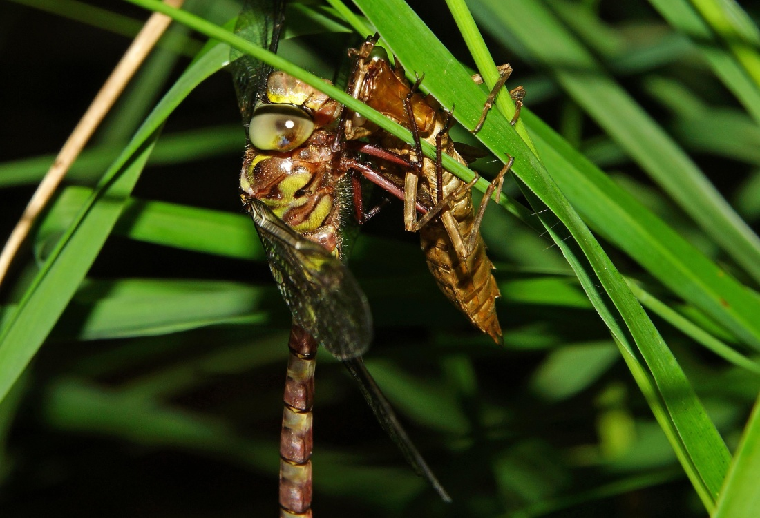 insect, nature, leaf, garden, dragonfly, arthropod