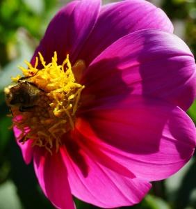 natur, blomst, hage, flora, sommer, pollen, kronblad, bee, insekt