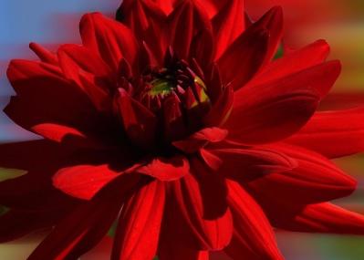 fleur, nature, rouge, pétale, flore, pétale, feuille, été, dahlia