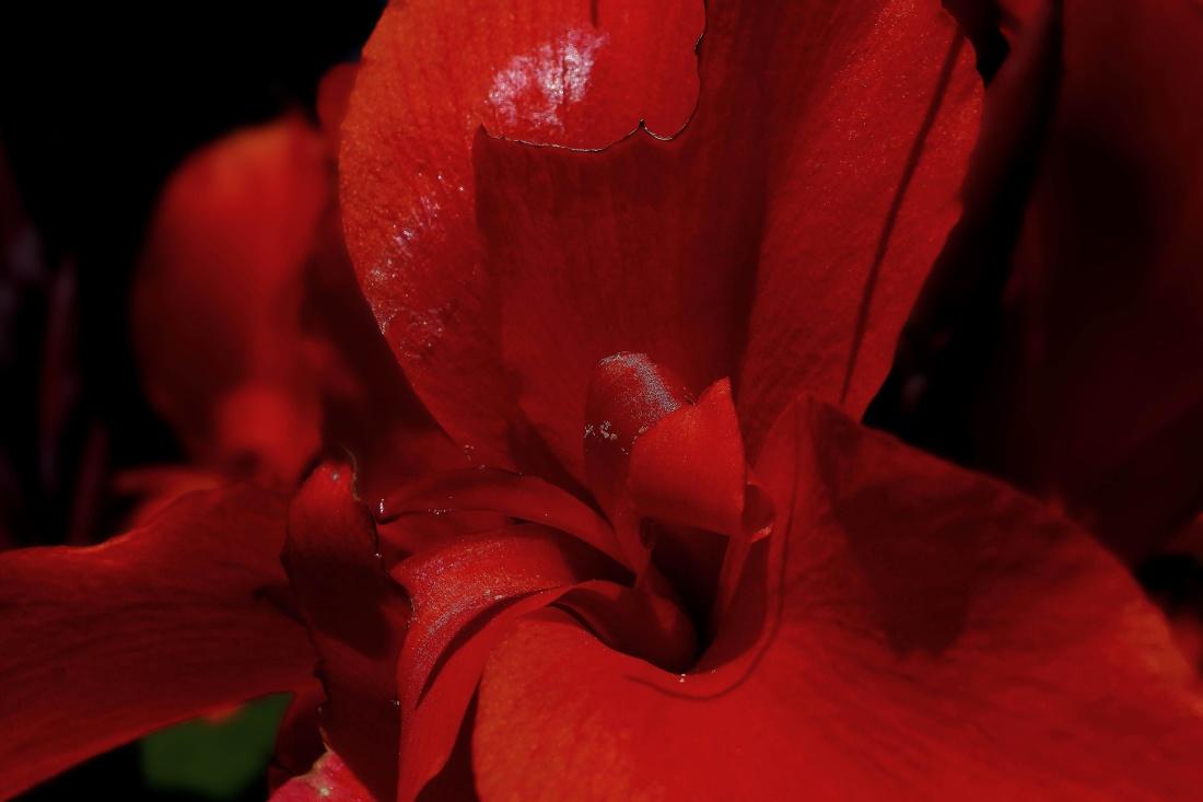 flower, nature, flora, rose, macro, leaf, petal, red