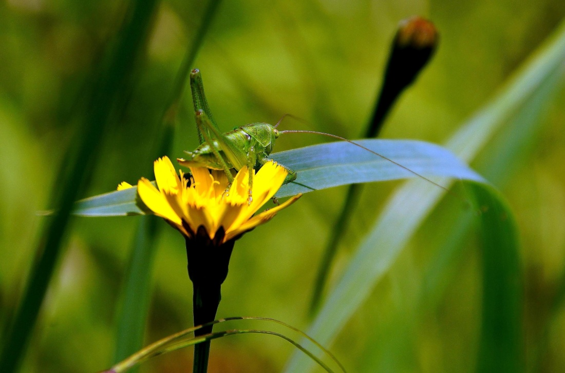 nature, grasshopper, insect, summer, flora, flower, plant, yellow