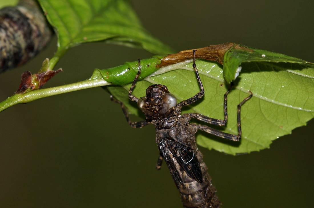 insect, invertebrate, wildlife, macro, nature, dragonfly