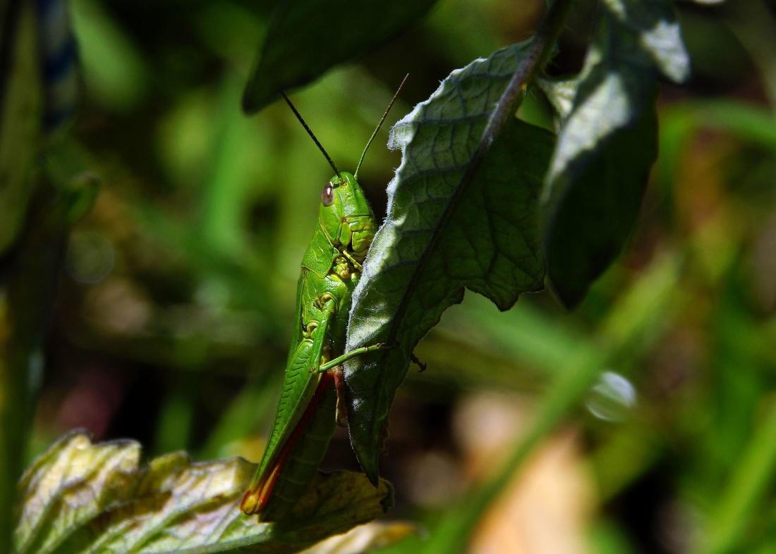 leaf, insect, nature, invertebrate, grasshopper, flora, arthropod