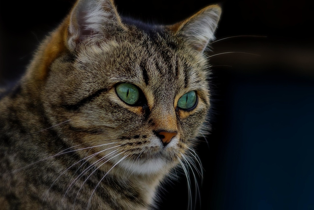 Image libre portrait chat mignon yeux f lin animaux - Image des mignon ...