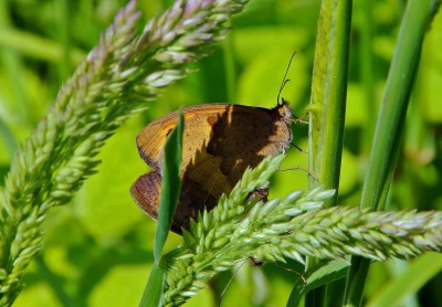 motýl, příroda, hmyz, v létě, list, volně žijící zvířata, zvíře